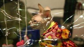 Sphynx kot ubierał w kurtki obsiadaniu w zwierzę domowe domu i meowing, wystawa zbiory