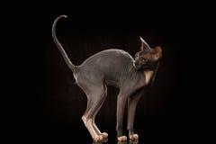 Sphynx kota Śmieszna pozycja i Przyglądający Z powrotem Odosobniony na czerni obraz royalty free