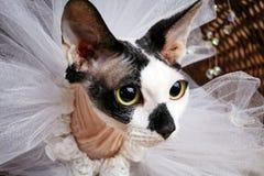 Sphynx koty Wśrodku Drewniany Koszykowy Przyglądający Up obrazy royalty free