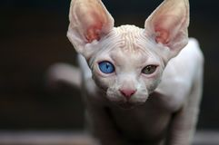 Sphynx looking at the camera stock photography