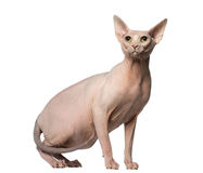 Sphynx looking up Stock Photos