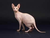 Sphynx Male Royalty Free Stock Images