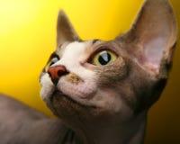 Sphynx mignon sur le fond jaune Image libre de droits