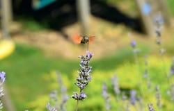 Sphynx Moth Stock Photo