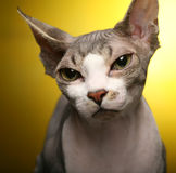 Sphynx On Yellow Background Royalty Free Stock Photography