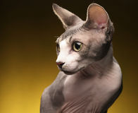 Sphynx On Yellow Background Stock Photography
