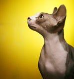 Sphynx på gul bakgrund Royaltyfria Foton