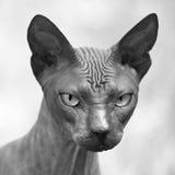 Sphynx portrait. Sphynx cat portrait, monochrome, square Royalty Free Stock Images
