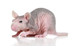 Sphynx rat on a white background Royalty Free Stock Photo