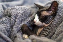 Sphynx of sfinx de kat slaapt op een laag royalty-vrije stock afbeelding