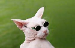 Sphynx unbehaarte Katze Stockfotografie