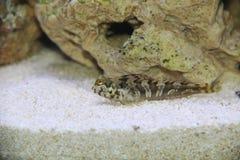 Sphynx Valenciennes de Aidablennius Imagens de Stock