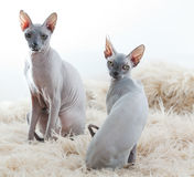 Sphynx on white Stock Photo