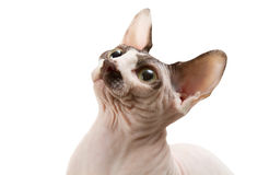 Sphynx Royalty Free Stock Photo