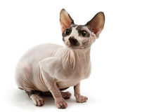 Sphynx Royalty Free Stock Image