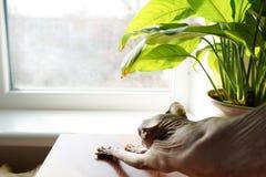 Sphynxkat dichtbij venster lichte dierlijke achtergrond, Exemplaarruimte stock foto's