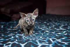Sphynxkatje op een blauwe achtergrond Stock Afbeeldingen