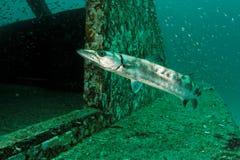 Sphyraena barrracuda - Andaman Sea Stock Photos