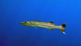 Sphyraenabarracuda Arkivfoto