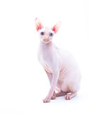 Sphyx cat Hunter Stock Photography