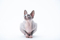 Sphyx cat York Royalty Free Stock Photos