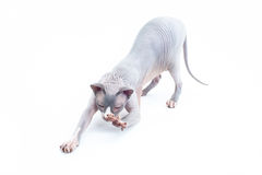 Sphyx cat York Stock Photo
