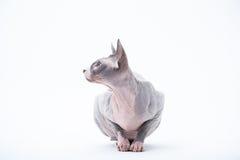 Sphyx cat York Royalty Free Stock Photos