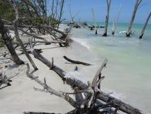 Spiaggia candeggiata 02 degli alberi Immagini Stock