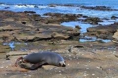 Spiaggia con il leone marino Fotografie Stock