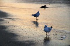 Spiaggia del gabbiano ad alba Fotografia Stock Libera da Diritti