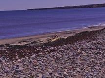 Spiaggia 3505 dell'alga di legno della deriva fotografia stock