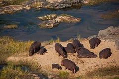 Spiaggia dell'ippopotamo sul fiume di Olifants Immagine Stock Libera da Diritti