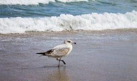 Spiaggia di camminata dell'uccello fotografia stock
