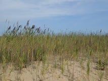 Spiaggia di Gunnison dell'erba di phragmites Immagine Stock Libera da Diritti