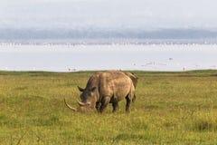 Spiaggia di Nakuru Rinoceronte bianco, Kenya fotografia stock libera da diritti