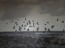 Spiaggia nera degli uccelli immagine stock