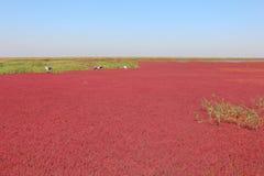 Spiaggia rossa di Panjin in Cina Immagini Stock