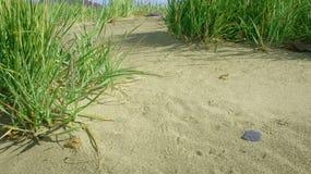 Spiaggia sabbiosa soleggiata con erba verde fotografie stock