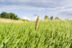 Spica φυτών ανθίσματος σε έναν πράσινο τομέα Στοκ εικόνες με δικαίωμα ελεύθερης χρήσης