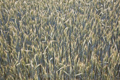 Spica of corn in the field Stock Photo