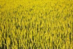 Spica of corn Stock Photos