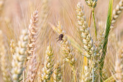 Spica of corn in the field with spider Royalty Free Stock Photo