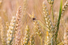 Spica of corn in the field with spider Royalty Free Stock Photos