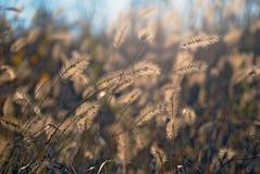 Spica dans le domaine. photo stock