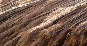 Spica del grano al primo piano di festival del raccolto di autunno fondo, feste immagini stock libere da diritti