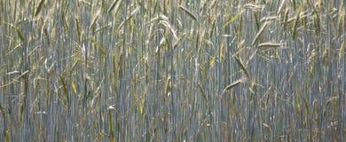 Spica di cereale nel campo Fotografia Stock Libera da Diritti