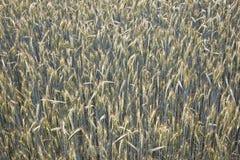 Spica di cereale nel campo Fotografia Stock
