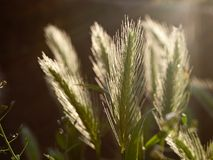 Spica of grass Royalty Free Stock Image