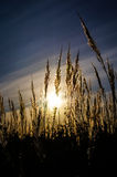Spica. Stalks of grass in the sun royalty free stock images