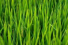 Spica van de rijst op een gebied royalty-vrije stock afbeelding